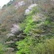 4月17日  夏井川渓谷の桜
