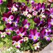 ユーフォルビアの花/春の嵐