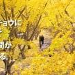 垂水の千本イチョウ【鹿児島県垂水市】