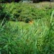 北設楽郡の山野草など(7月19日)