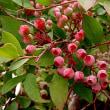 ブルーベリーという果実