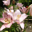 城山公園の紫陽花(館山市)