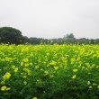「昭和記念公園のキバナコスモス」を観に行く