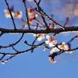 ロウバイと桜(都市農業公園)