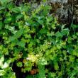 ゲラニウム・ルキドゥム Geranium lucidum