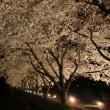 夜の桜並木