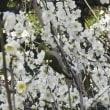 季節は・・・ 梅の花