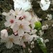 春は…花。
