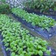 大根&スミレかぶなど、種まきラッシュから楽しみな成長、そして収穫へ…