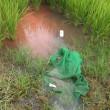 水稲の流し込み施肥