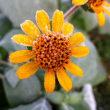 ヤーコンの花に霜