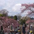 高楽寺の紅枝垂れ桜が見頃です 2018.3.24