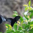 黒いナガサキアゲハの乱舞