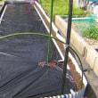 レタス栽培、発芽した、畝作りも済ませた