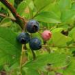 収穫した夏野菜とブルーベリー