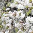 桜 さくら サクラ NO2