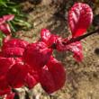 鮮やかに紅葉したブルーベリー