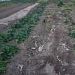 畑の片づけを始めました。