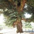 貫前神社のスダジイ 群馬県富岡市