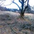 梅の枯れ枝取り