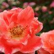 薔薇 アラカルト