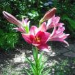 咲いてます。ユリの花