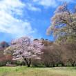 西都原古墳の菜の花と桜の今日