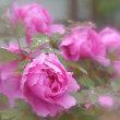 牡丹の花・・・【いな】