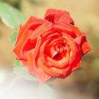 薔薇 (花 4710)