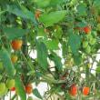 「まーちゃん農場」でトマト摘み