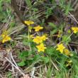 森の春 ミヤマザクラ
