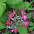 薔薇と山紫陽花