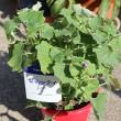 セネッテイの鉢植え