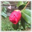 乙女椿が咲きました