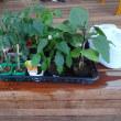 各種の苗を購入