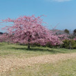 再び桜です。