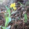 永楽台近隣公園で、今年もキンランが咲きはじめました。