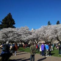 満開のシアトル・ワシントン大学の桜。
