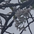 桜二度咲く