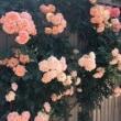 薔薇に囲まれ