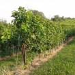 ワイン畑でのウォーキングの危険性について