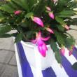 咲き始めたシャコバサボテン、小さな寄せ植え堅調です❗