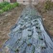 玉ねぎ植える
