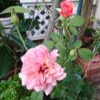 バラの花が咲いています