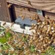 みつばちマーヤは働き者! セイヨウミツバチ(西洋蜜蜂)