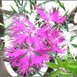 ナデシコの花咲きました