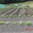 大豆の「土寄せ」が理想的にできました。
