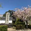 まだ枝垂桜咲いてました!妙顕寺
