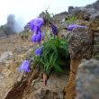 編笠山から権現岳へ 花咲く権現岳  平成30年8月11日‐12日