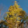 透き通るような黄葉が美しい コシアブラ